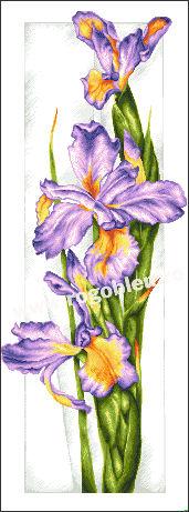 Iris d'améthyste