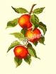 Goblen - Pommes